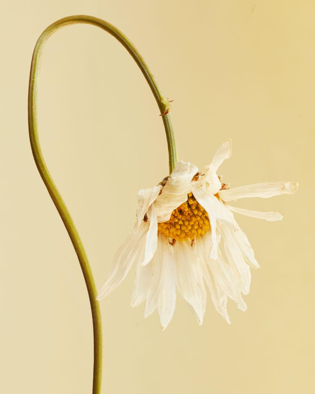 Leucanthenumulgarecrop
