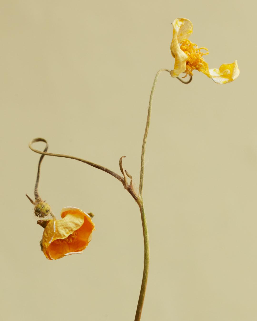 Ranunculuscrop