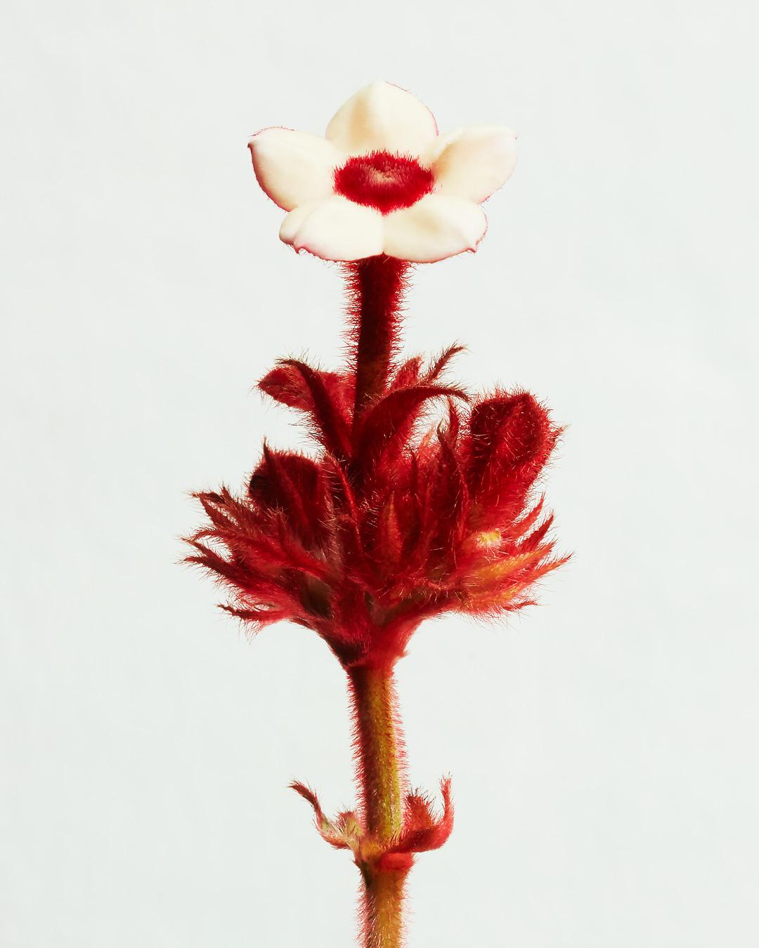AmaranthusCaudatus